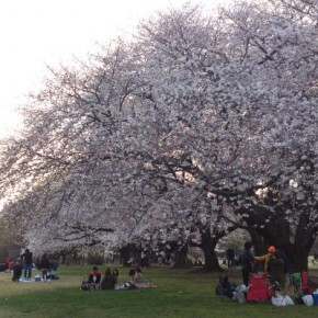 Cherry blossom viewing at Kinuta Park