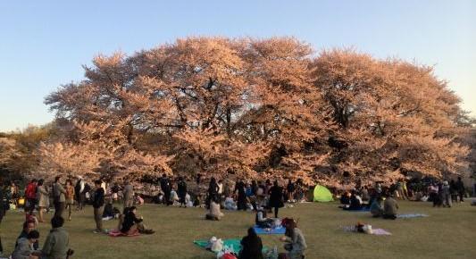 砧公園でお花見 2014Cherry blossom viewing party at Kinuta Park 2014